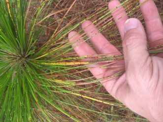 Brown spot needle blight on longleaf pine. David Coyle, ©2021, Clemson Extension.