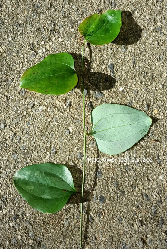 Smilax glabra (called the cat greenbrier) has a pale-colored, lower leaf surface (glaucous), bluish-black fruit, and no spines along the leaf margins. Joey Williamson, ©2016 HGIC, Clemson Extension