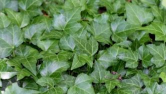A thick mat of English ivy (Hedera helix) covered the ground and shaded out the original plantings. Joey Williamson, ©2014 HGIC, Clemson Extension