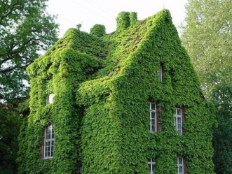 Although it may take a few years for a house to be engulfed with English ivy (Hedera helix), damage can occur where it does adhere to wood, stucco, or mortar.