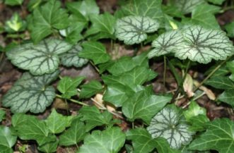 English ivy (Hedera helix) has spread into a bed and is beginning to compete with and shade out ornamental coral bells (Heuchera americana 'Dale's Strain'). Joey Williamson, ©2014 HGIC, Clemson Extension