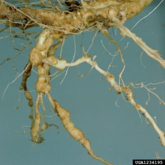 Galls on roots infested with root-knot nematodes (Meloidogyne species). Clemson University - USDA Cooperative Extension Slide Series, Bugwood.org