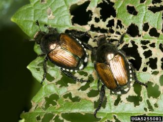 Japanese beetles (Popillia japonica) with characteristic damage of leaf skeletonization. David Cappaert, Michigan State University, www.insectimages.org
