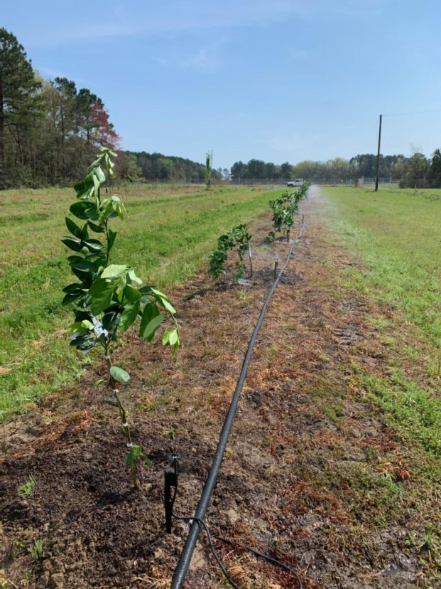Newly planted citrus trees at the Coastal REC this past week. Zack Snipes, ©2021, Clemson Extension