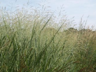 Switchgrass (Panicum virgatum) has many small seeds and tall cover, which makes it excellent as a forage and habitat for game and songbirds, and other animals. Barbara Smith, ©2021, Clemson Extension