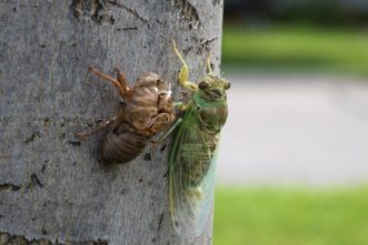 Adult cicadas crawl out of the last larval exoskeleton. These exoskeletons are often found clinging to trees and other vertical objects. Image courtesy of Bob Doblina, https://pixabay.com/photos/cicada-insect-bug-nature-molt-4242624/.