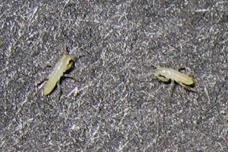 Newly hatched cicada nymphs are translucent or cream-colored and look like ants or termites. Photo by Roy Troutman, https://www.cicadamania.com/cicadas/cicada-larvae-pictures/.