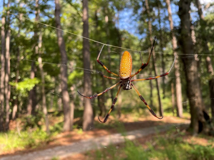 Banana spider hanging out in its web in Charleston County, SC. If you look closely, you can see the black sections on the legs are hairy, like a bottle brush. David Coyle, ©2021, Clemson University