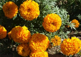 African marigolds (Tagetes erecta) have large, double flowers and bloom from midsummer to frost. Barbara H. Smith, ©2020 HGIC, Clemson University