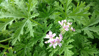 """The """"mosquito geranium"""" (Pelargonium citrosum) smells like citronella and is advertised as a natural mosquito repellant. This has not been proven."""