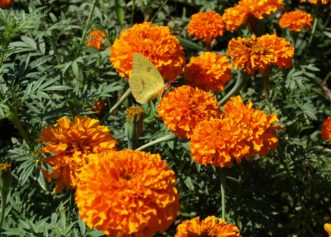 Marigolds (Tagetes species) are easy to grow, economical, bloom reliably all summer, and have few insect and disease problems. Barbara H. Smith, ©2020 HGIC, Clemson University