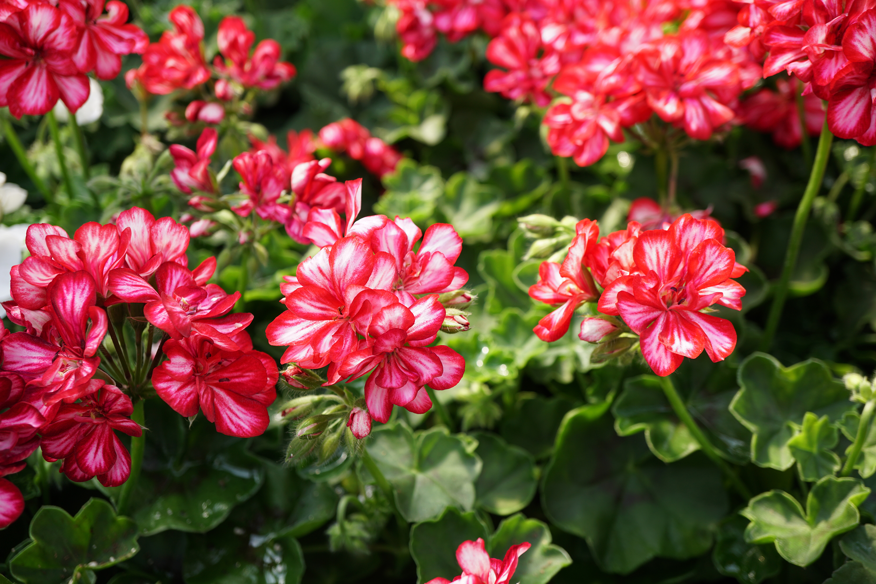 Growing geraniums indoors home garden information center ivy leafed geraniums pelargonium peltatum are trailing in habit and have leaves that izmirmasajfo