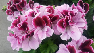 Martha Washington Geraniums (Pelargonium x domesticum 'Regal') are not heat tolerant and will not perform well outdoors.