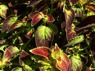 'Dipt in Wine' coleus has large burgundy leaves with bright gold at the base. Barbara H. Smith, ©2020 HGIC, Clemson University