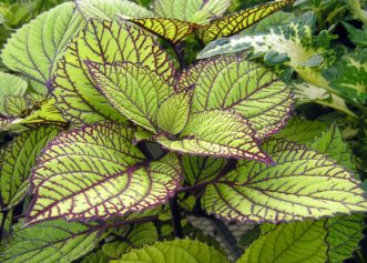 'Fishnet Stockings' coleus is a dramatically patterned coleus for shade. Millie Davenport, ©2007 HGIC, Clemson Extension