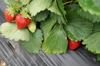 Strawberries growing using the annual hill system. Barbara H. Smith © 2018 HGIC Clemson Extension.