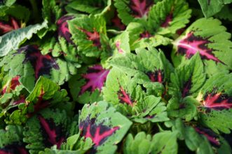 The Kong coleus series has a wide range of foliage colors, such as 'Kong Rose'. Barbara H. Smith, ©2020 HGIC, Clemson University