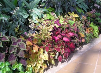 This coleus collection (Coleus scutellarioides) shows a variety of colors and leaf shapes. Photo by Karen Russ, ©2007 HGIC, Clemson Extension