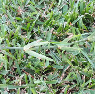 A dull mower blade will shred the turfgrass foliage.