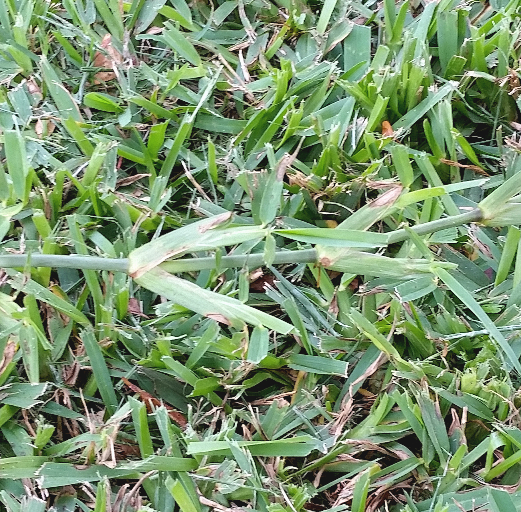 St  Augustinegrass Yearly Maintenance Program | Home