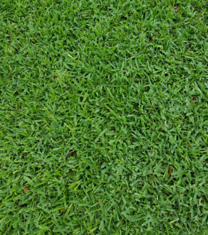 St. Augustinegrass is a wide-bladed, spreading, warm-season turfgrass that is adapted to the warmer regions of the southeastern United States.