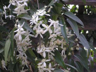 Armand Clematis (Clematis armandii) is an evergreen clematis that flowers in late March.