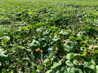 A commercial field consisting of 12 varieties of winter squash and pumpkins.