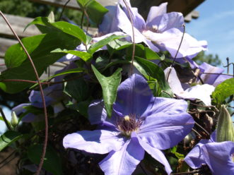 Ramona clematis (C. 'Ramona') has large, 6 o 8 inch lavender blue flowers with red stamens.