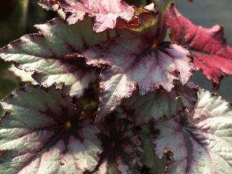 Rex Begonias (Begonia rex) are grown for their beautiful leaves. Barbara H. Smith, ©2020 HGIC, Clemson University Rex Cultivars