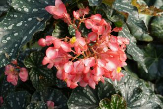 Angel Wing Begonias (Begonia coccinea) have green leaves with white spots, and the flower colors may be red, pink, or white. Barbara H. Smith, ©2020 HGIC, Clemson University