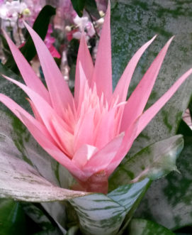 The ꞌSilver Vaseꞌ Bromeliad (Aechmea fascaita) flowers have pink bracts. Barbara H. Smith, ©2015 HGIC, Clemson Extension