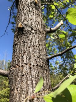 The damage caused by yellow-bellied sapsucker is horizontal rows of small holes. These birds return later to lap up leaking sap.