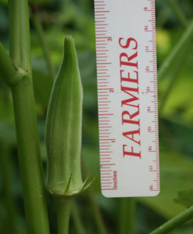 Okra pods are best when picked at 2 to 3 inches long. Cory Tanner, ©2010 Clemson Extension