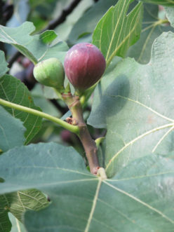 Figs should be sited in a well-drained location in full sun.