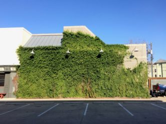 A wall draped with creeping fig (Ficus pumila) becomes a living, green mural in Dallas, TX. R. F. Polomski, ©2021 HGIC, Clemson Extension.