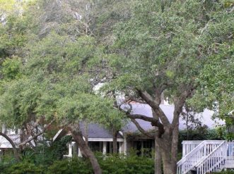 Live oaks (Quercus virginiana) are some of the most recognized native trees in South Carolina.