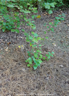 The surrounding soil is then covered with a 2- to 3-inch layer of mulch, and the plant is watered slowly to settle the soil.