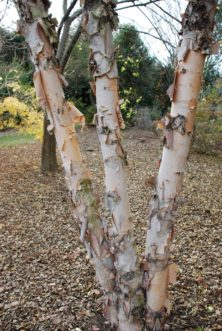 Besides its small stature, Studetec compact river birch (Betula nigra 'Studetec' Tecumseh Compact®) offers year-round interest with colorful peeling bark. Maryann Debski; right, Mark Weathington. JC Raulston Arboretum.
