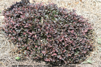 Purple Pixie™ (Loropetalum chinense var. rubrum) is a spreading groundcover with deep purple foliage.