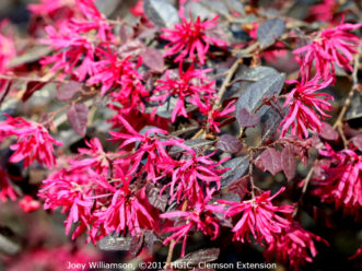 The masses of vibrant, fuchsia-pink blossoms and deep purple leaves of Loropetalum chinense var. rubrum Purple Diamond™ make it easy to understand the increased popularity of this shrub.