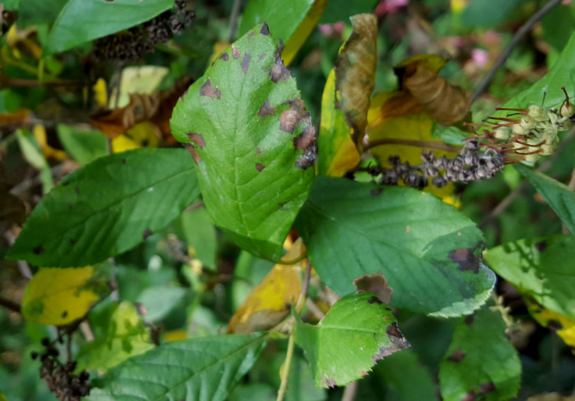 Pseudocercospora leaf spot is a late season disease of summersweet clethra (Clethra alnifolia).