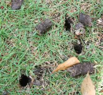 Soil cores pulled from the lawn during soil aerification. Gary Forrester, Regional Horticulture Extension Agent, Clemson Extension