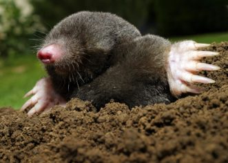 A mole is 4-7 inches in length with paddle-shaped feet and prominent digging claws. Courtesy of Mississippi State University Extension Service