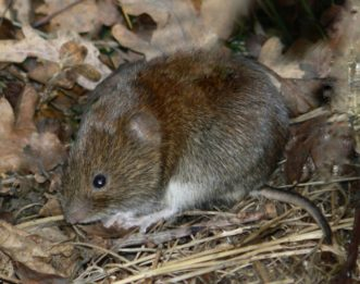 Meadow voles look like field mice with short tails.| Courtesy of John White