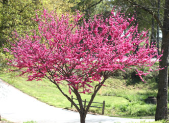 'Ace of Hearts' redbud (Cercis canadensis) in bloom.