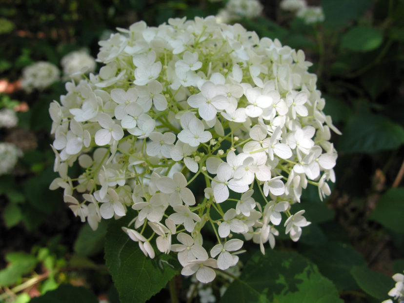 Flowers of smooth hydrangea (Hydrangea arborescens).