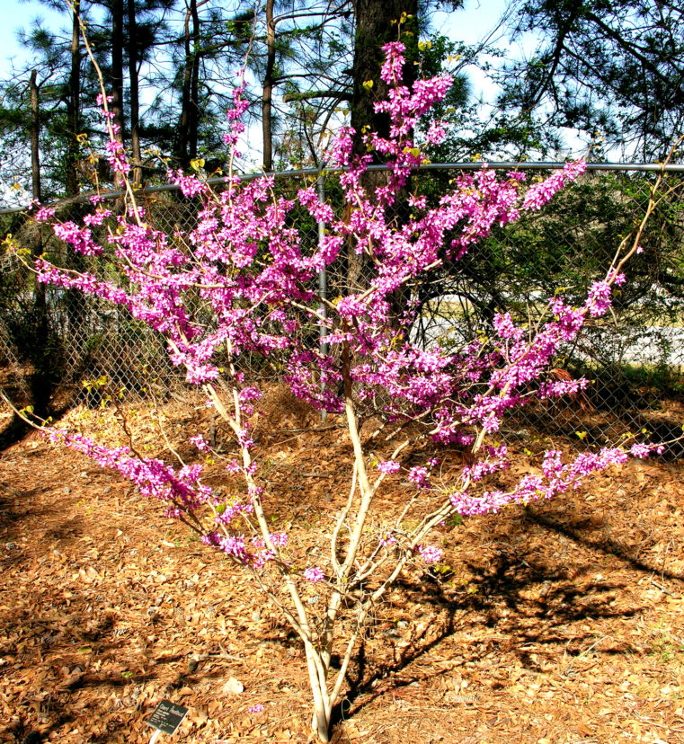 Giant redbud (Cercis gigantea) in bloom.