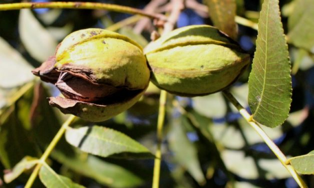 FAQ About Pecan Production in the Home Garden