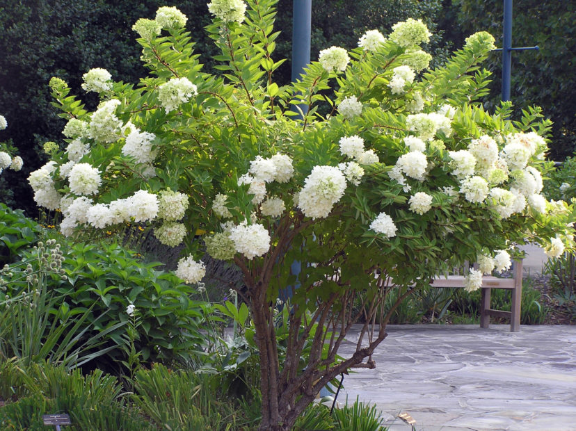 Peegee hydrangea (Hydrangea paniculata) flowering with white blooms in late summer.