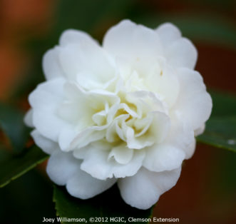 Tea oil camellia (Camellia oleifera 'Snow Flurry') blooming in November.